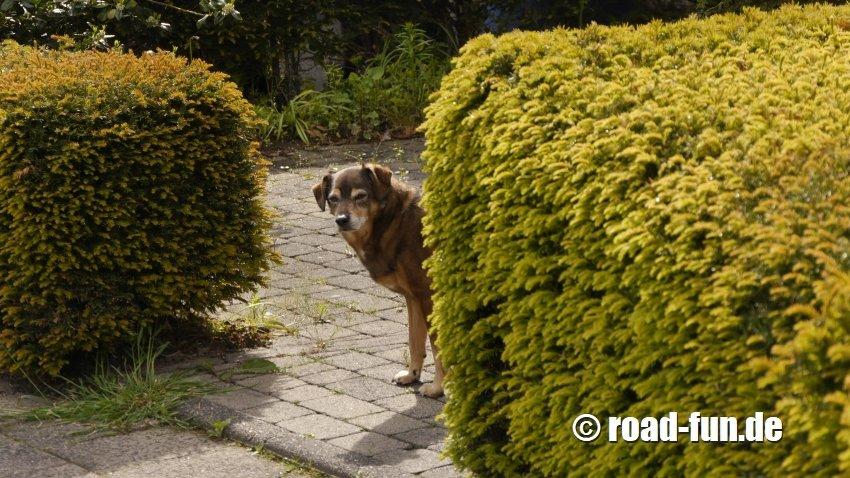 Rossi im Garten