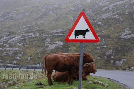 Gefahrenschild außere Hebriden - Kuehe